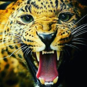 Tiger DP for Whatsapp